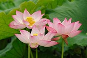 Lotus flower, Nelumbo nucifera, China
