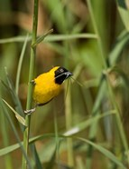 Lesser Masked Weaver bird, Mkuze GR, South Africa