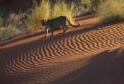 Leopard on sand dunes, Namib-Naukluft Park, Namibia