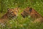 Leopards, Kruger National Park, South Africa