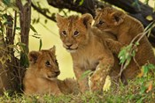 Lion cubs in the bush, Maasai Mara Wildlife Reserve, Kenya
