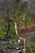 Male Black-faced impala, Etosha National Park, Namibia