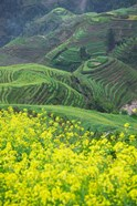Landscape of Canola and Terraced Rice Paddies, China
