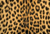 Leopard, Masai Mara Reserve, Kenya