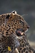 Leopard, Panthera pardus, Samburu Game Reserve, Kenya
