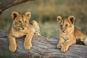 Lion Cubs on Log, Masai Mara, Kenya