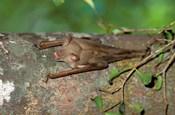 Madagascar, Commerson's leaf-nosed bat wildlife