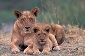 Lions, Okavango Delta, Botswana