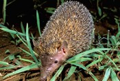 Madagascar, Ankarana, Greater Hedgehog tenrec wildlife