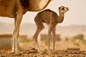 Mauritania, Guelb Jmel, Little dromedary at the well