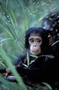Infant Chimpanzee, Tanzania
