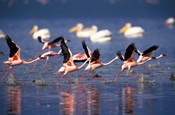 Lesser Flamingos running on water, Lake Nakuru National Park, Kenya