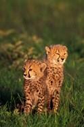 Cheetah cubs, Kenya