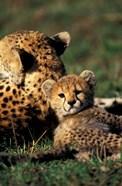 Kenya, Masai Mara Game Reserve. Cheetah cub