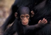 Infant Chimpanzee, Gombe National Park, Tanzania