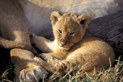 Kenya, Masai Mara. Six week old Lion cub (Panthera leo)