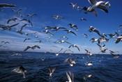 Kelp Gulls, South Africa