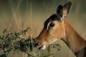 Kenya, Lake Nakuru NP, Impala wildlife