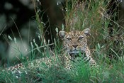 Leopard Resting along Telek River, Masai Mara Game Reserve, Kenya