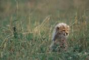 Kenya, Masai Mara Game Reserve, Cheetah, Savanna