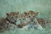 Lion Cubs Rest in Grass, Masai Mara Game Reserve, Kenya