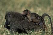 Kenya, Masai Mara Game Reserve, Chacma Baboons wildlife
