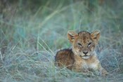 Lion Cub Rests in Grass, Masai Mara Game Reserve, Kenya