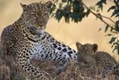 Leopard and Cub Resting, Masai Mara Game Reserve, Kenya