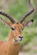 Male Impala, Tanzania