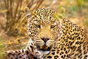 Leopard Profile at Africat Project, Namibia