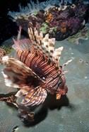 Lionfish at Daedalus Reef