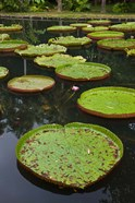 Mauritius, Botanical Garden, Giant Water Lily flowers