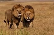 Lions, Duba Pride Males, Duba Plains, Okavango Delta, Botswana