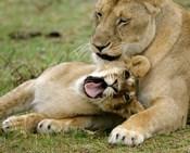 Kenya, Masai Mara, Keekorok Lodge. African lions