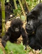 Adult and baby Gorilla, Volcanoes National Park, Rwanda
