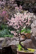 Pink spring blooms on tree, Yu Yuan Gardens, Shanghai, China