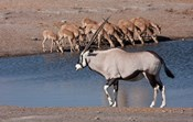 Namibia, Etosha NP, Chudop, Oryx, black-faced impala