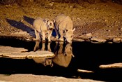 Namibia, Etosha NP, Black Rhino wildlife, waterhole