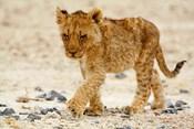 Namibia, Etosha NP. Lion, Stoney ground