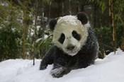 Panda Cub on Tree in Snow, Wolong, Sichuan, China