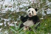 Panda Eating Bamboo on Snow, Wolong, Sichuan, China