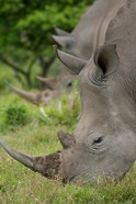 Pair of African White Rhinos, Inkwenkwezi Private Game Reserve, East London, South Africa