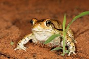 Red Toad, Mkuze Game Reserve, South Africa