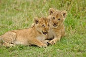 Pair of lion cubs playing, Masai Mara Game Reserve, Kenya