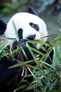 Panda bear, Panda reserve