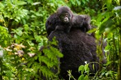 Gorilla carrying baby, Volcanoes National Park, Rwanda
