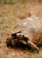 Mountain tortoise, Mkuze Game Reserve, South Africa