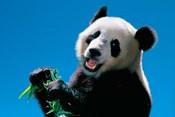 Panda Eating Bamboo, Wolong, Sichuan, China
