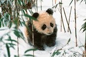 Panda Cub on Snow, Wolong, Sichuan, China