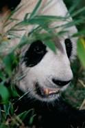 Panda, Wolong, Sichuan, China